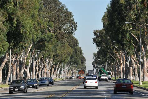 eucalyptus trees how eucalyptus trees came to thrive in the south bay and