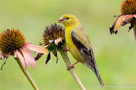 american goldfinch eating coneflowers the roger tory