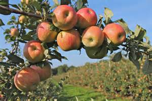 apple england honeycrisp apple new england apples