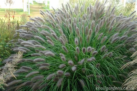 pennisetum red head knoll gardens ornamental grasses and flowering perennials