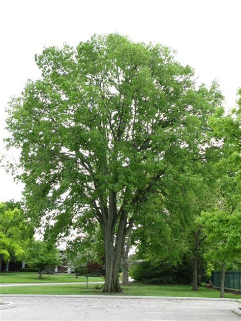 China Garden Middletown Ohio by Plantfiles Pictures Common Hackberry American Hackberry