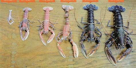 Résultat d'images pour larves de homards photos