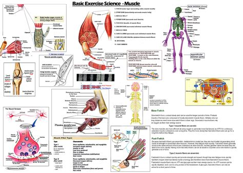 nasm overactive and underactive muscles chart photos chart in the word