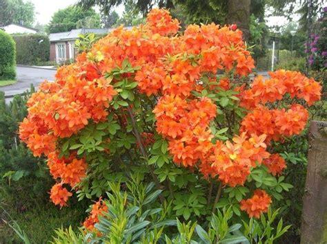 azalea da giardino azalea coltivazione piante da giardino consigli per