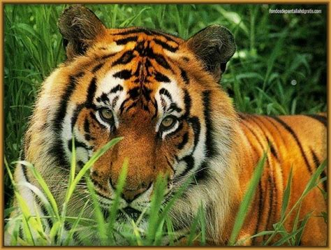 fotos animales tigres ver imagenes de tigres salvajes imagenes de tigres