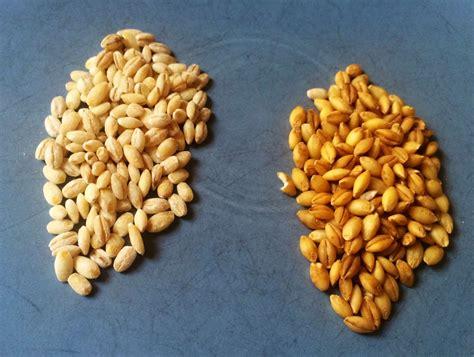 Hulled Barley food for thought summer barley salad and hulled vs pearled barley