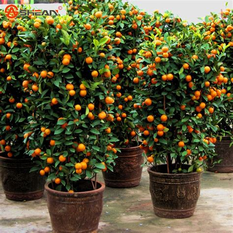 delicious golden orange seed mini potted fruit tree seeds - Planting Potted Fruit Trees
