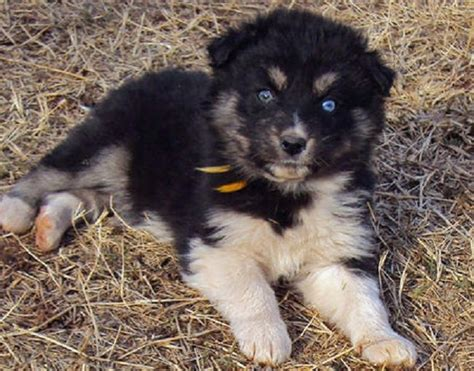 shepherd mix puppies for sale husky german shepherd mix puppies for sale zoe fans baby animals