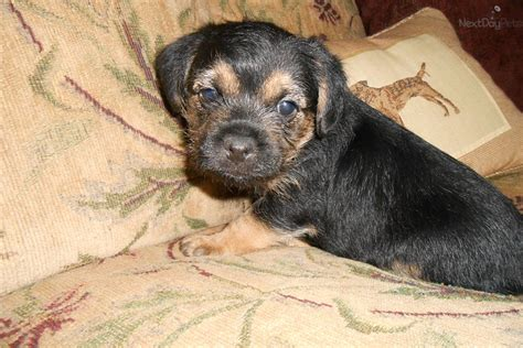 border terrier puppies for sale near me jimmy akc chion bloodlines border terrier puppy for sale near indianapolis