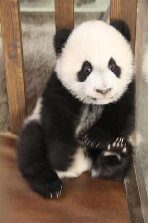 tattoo roter panda 1000 bilder zu pandabears red pandas auf pinterest