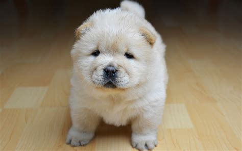 chow chow puppy price chow chow breed price in india breed dogs spinningpetsyarn