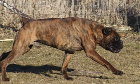 boxer puppies for sale mn boxer puppies for sale