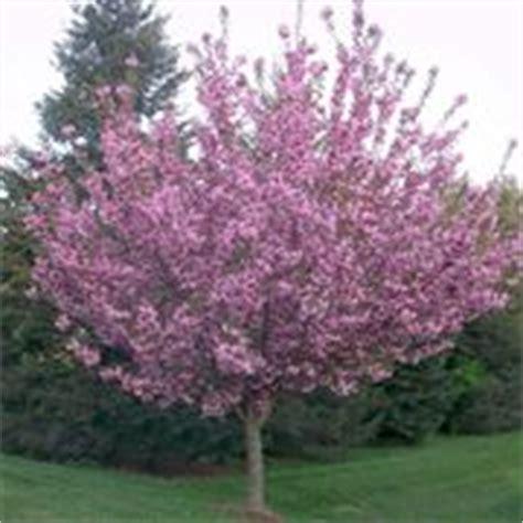 ciliegio da fiore giapponese potatura ciliegio potatura quando potare ciliegio