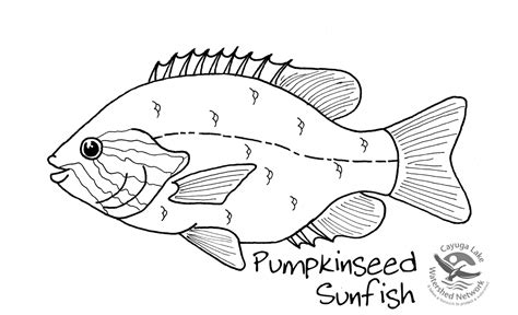 lake fish coloring pages perch fish coloring page sketch coloring page