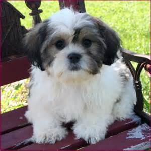 zuchon hair cuts shichon puppy 4 sale cross mixed breed puppies