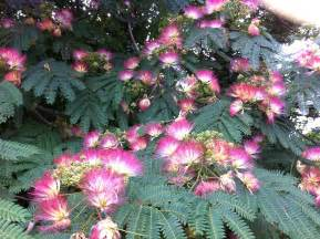 Mimosa flower albizia julibrissin durazz he huan hua