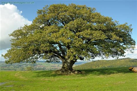 At Last I See The Light Quercus Petraea Picture 3 Of 11