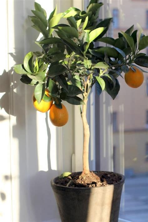 fruit trees indoors 1000 ideas about lemon tree potted on patio