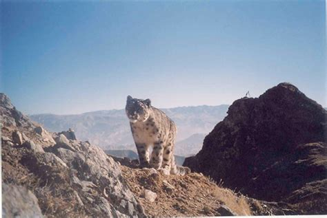 Original Pumpease Snowy Leopard Medium international snow leopard day in afghanistan wildlife conservation society medium