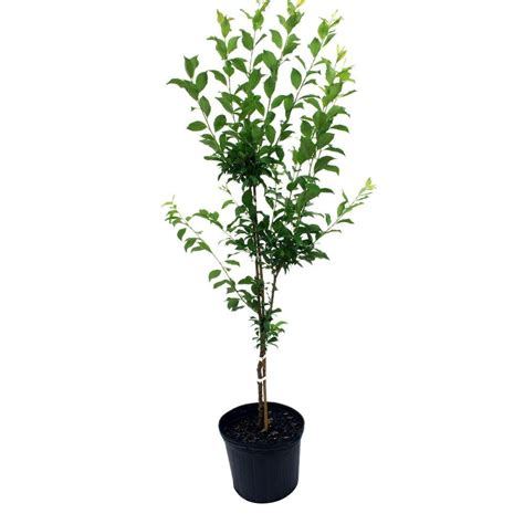 3 gal becky blueberry shrub 56453fl the home depot
