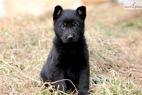 german pinscher puppies for sale german pinscher puppy for sale near lancaster pennsylvania e156fcf1 7031