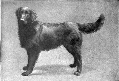 wavy haired golden retriever flat coated retriever history page 5