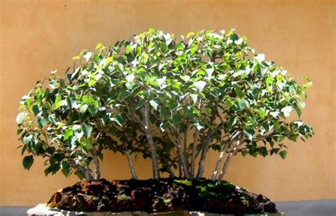 Bonsai Da Esterno by Bonsai Da Esterno Pino With Bonsai Da Esterno Bonsai Da