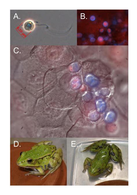 Frog Shedding Or Fungus by Detection Of Batrachochytrium Dendrobatidis Bd And