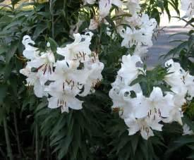 casablanca lilies post title