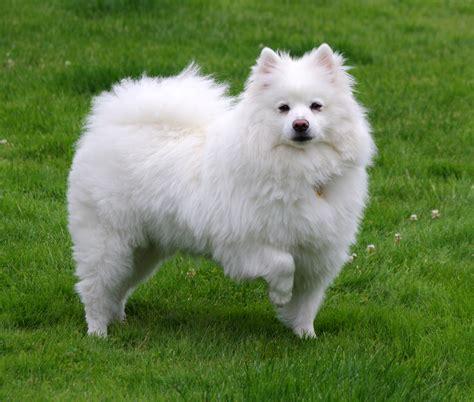 eskimo dogs file american eskimo 1 jpg wikimedia commons
