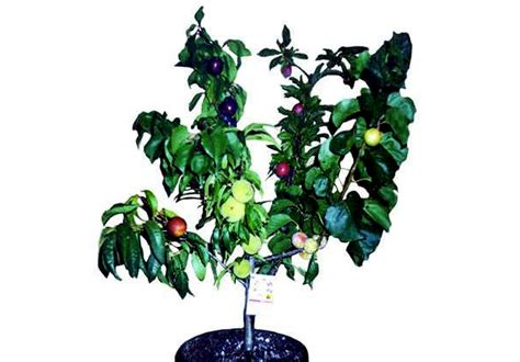 2 fruit trees in one fruit salad trees 6 different kinds of fruit on one