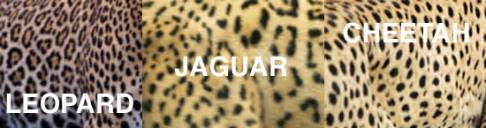 Cheetah And Leopard And Jaguar Differences Spot The Differences Between Leopards Jaguars And