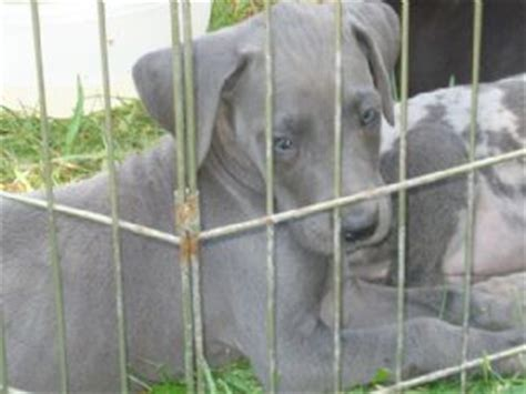 great dane puppies craigslist great dane puppies for sale in craigslist