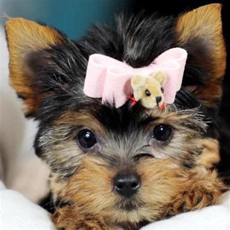 teacup puppy store teacup puppies store luxury puppy boutique supplies and accessories