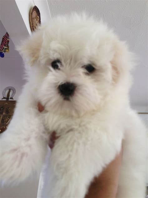 maltese puppy for sale maltese puppies for sale gillingham kent pets4homes