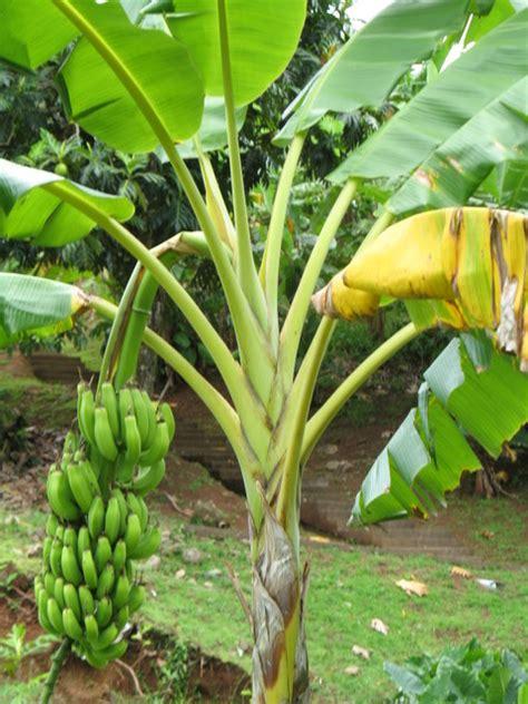Quand Planter Un Bananier by Entretien D Un Bananier Maison Design Apsip