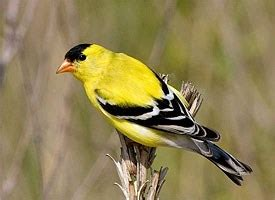 american goldfinch identification all about birds
