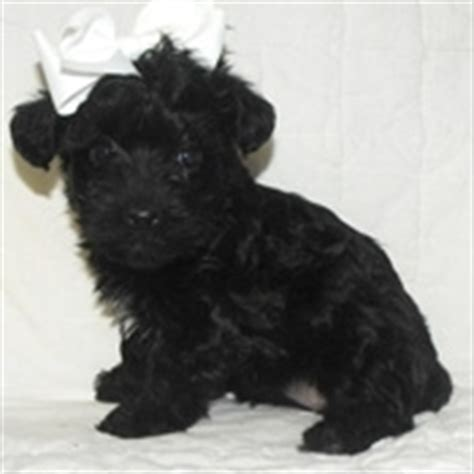 black yorkie poo images yorkie poo puppies images awwwww black yorkie poo photo 24813682