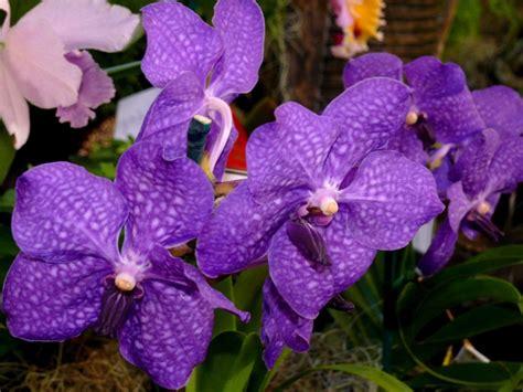 vanda an orchid genus flowers