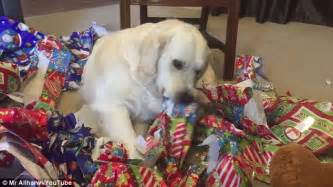 golden retriever seer the golden retriever to play with wrapping paper in africanseer