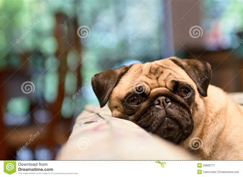pug cough sad pug relaxing on cough royalty free stock photography image 30802777