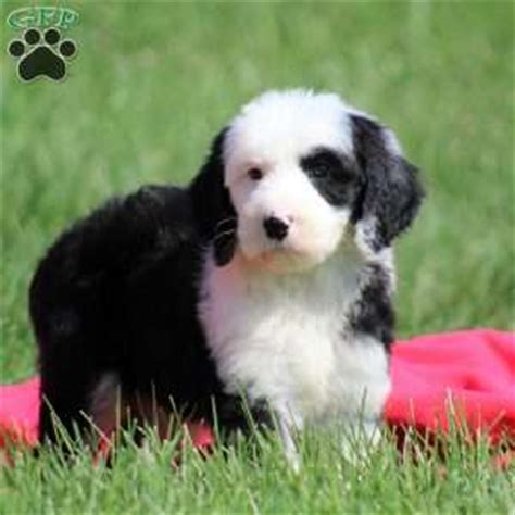 sheepadoodle puppies for sale ohio sheepadoodle puppies for sale greenfield puppies