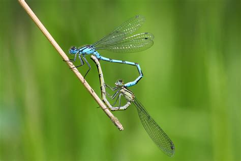 images of dragonflies common blue damselfly tandem mating pair 169 tyrrell