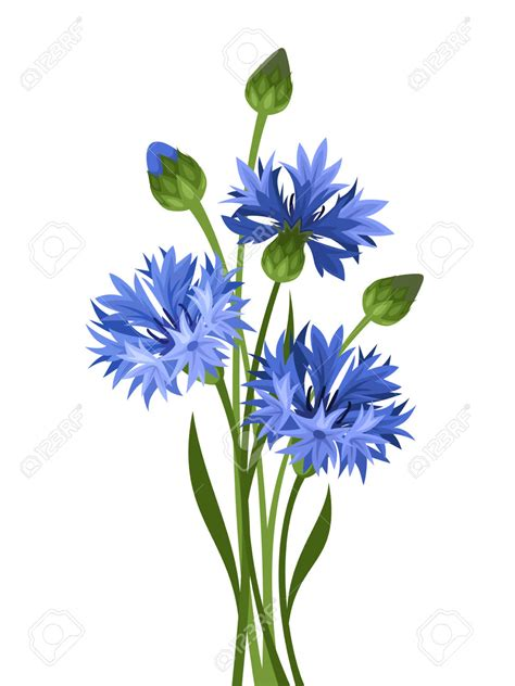 bouquet of blue cornflowers vector illustration royalty