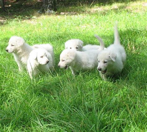 can puppies leave at 6 weeks white shepherd pups 6 weeks 7 gunther white german shepherds