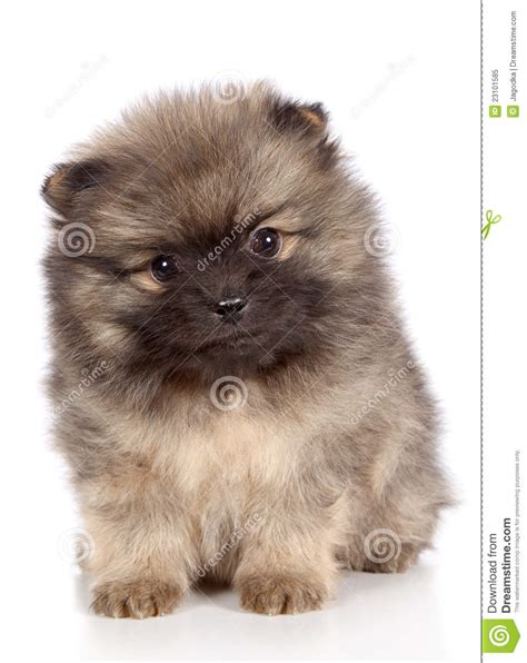 pomeranian puppies for sale new orleans pomeranian puppies breeds picture