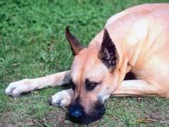 elevated liver enzymes in dogs high liver enzymes in dogs symptoms