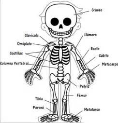 Partes de el esqueleto humano para ni 241 os en escuela imagenes del