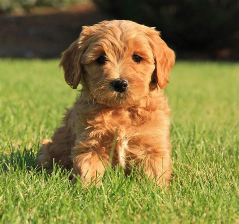 labradoodle puppy s available australian labradoodle puppies mountain view labradoodles