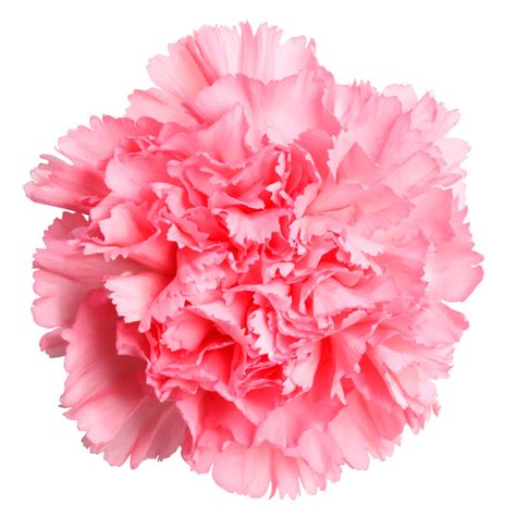 pink peppermint carnation suit